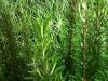 pianta-rosmarino-jpg