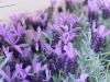 risotto_fontina_fiori_lavanda_3_rid-jpg